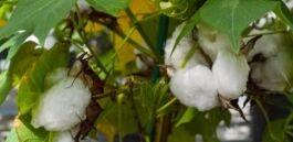 VOA慢速英语:美国允许转基因棉花作为人类食物来源