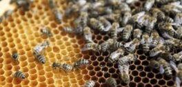 VOA慢速英语:一个人拯救蜜蜂的计划