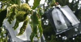 VOA慢速英语:美国考虑基因工程树