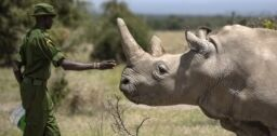 VOA慢速英语:科学家制造出稀有犀牛的新胚胎
