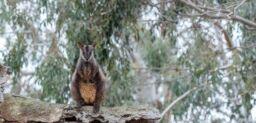 VOA慢速英语:澳大利亚人帮助火灾中幸存的动物们
