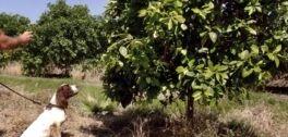 VOA慢速英语:狗狗能嗅到影响柑橘树的作物病害