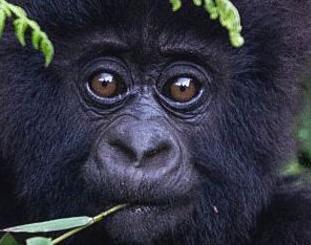 经济学人下载:保护类人猿免受新冠病毒感染(1)