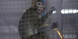 VOA慢速英语:科学家为寻找新冠疫苗开展动物试验