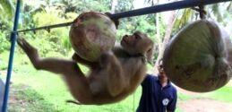 VOA慢速英语:泰国训猴师否认奴役猴子采收椰子