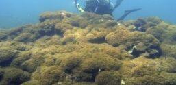 VOA慢速英语:研究称一种新型海藻在太半洋杀死珊瑚