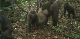 VOA慢速英语:首次拍摄到罕见大猩猩与宝宝的照片