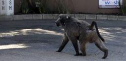 VOA慢速英语:麻烦的南非狒狒因袭击而被送走