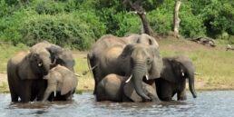 VOA慢速英语:博茨瓦纳将大象死亡归咎于有毒藻类