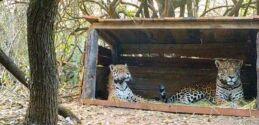 保护小组成员让野生和圈养的美洲豹交配