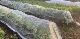 VOA慢速英语:延长你的新鲜蔬菜收获季节