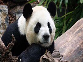 """旅加大熊猫""""大毛""""""""二顺""""提前回家"""