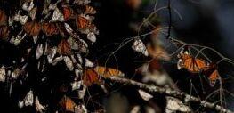 帝王蝶的种群有灭绝的危险