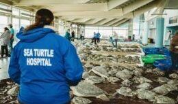 VOA慢速英语:数千只海龟在德克萨斯岛镇获救