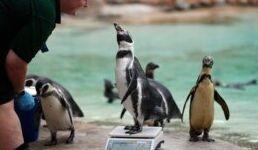 VOA慢速英语:伦敦动物园由于疫情封锁举步维艰