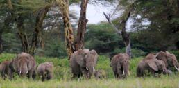 VOA慢速英语:环保人士称肯尼亚的鳄梨农场将限制了大象的活动