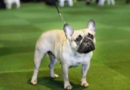 拉布拉多猎犬仍然是美国头号犬 法国斗牛犬排名第二