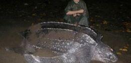 VOA慢速英语:美国西海岸棱皮海龟数量大幅下降