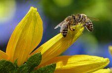 荷兰训练蜜蜂嗅出新冠病毒 几秒钟就有答案